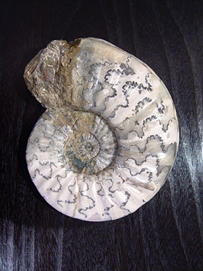 Picture of AMMONITE 2